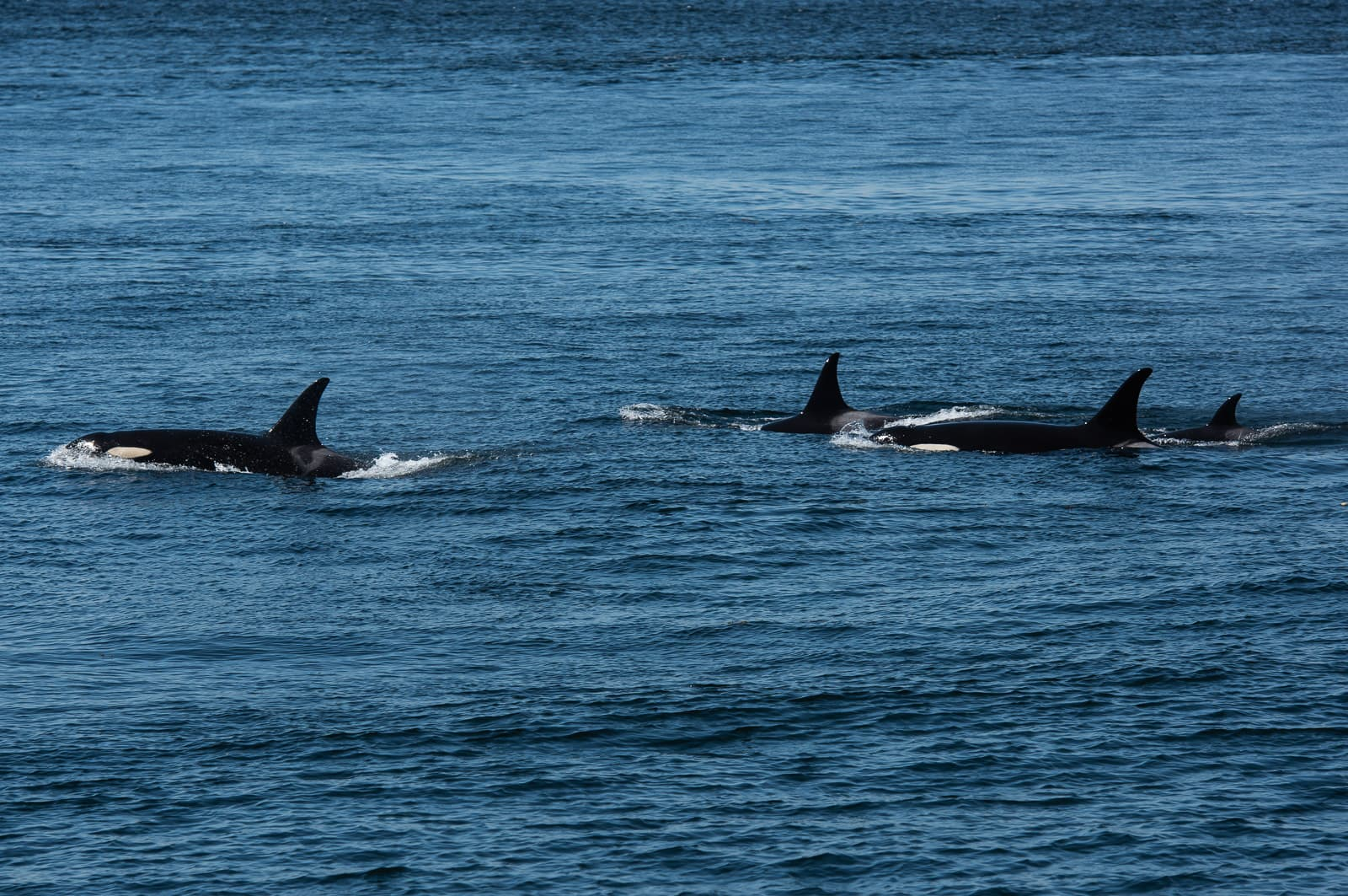 San Juan Island: Whales to the North
